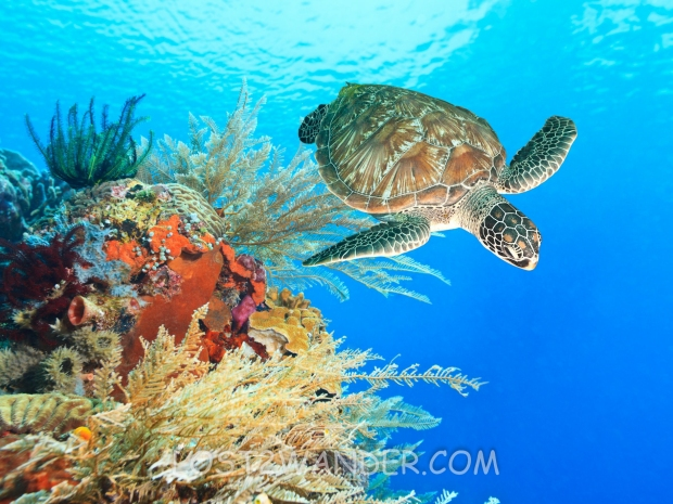 16466632 - turtle swimming underwater among the coral reef