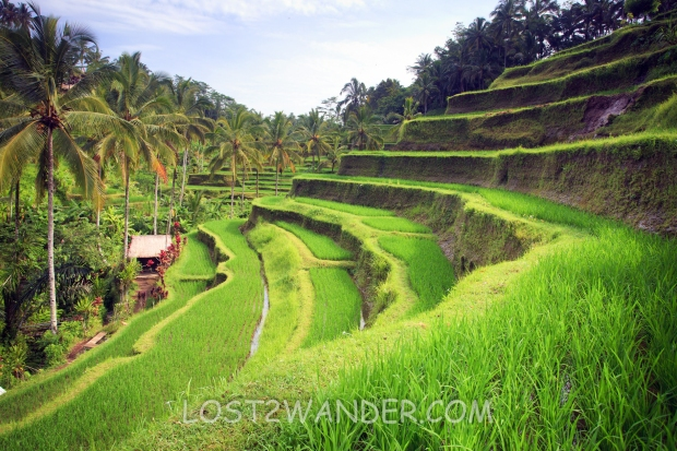 29644075 - terrace rice fields in tegallalang, ubud on bali, indonesia.